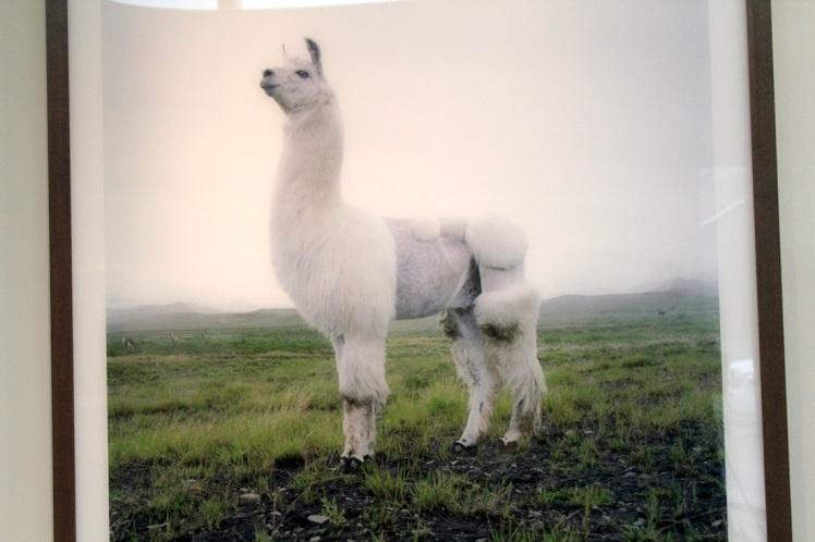 llama photograph