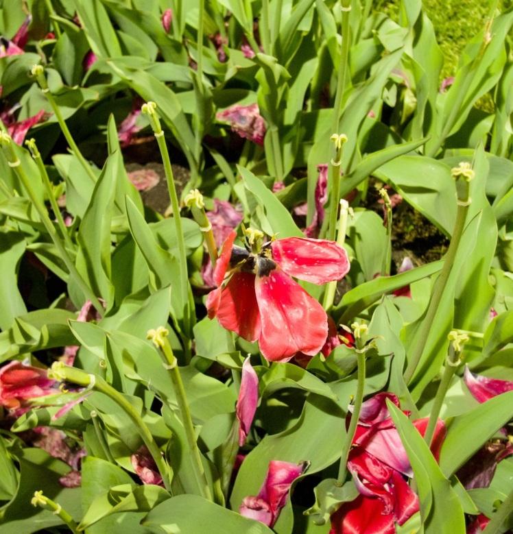 tulip gone