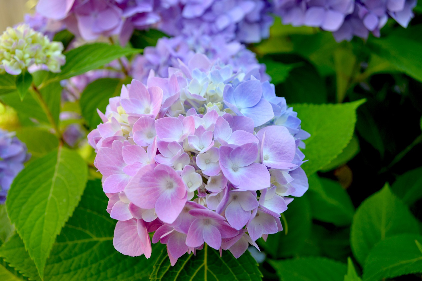 Hydrangea In Bloom Pop Amp Circumstance Guidebook For