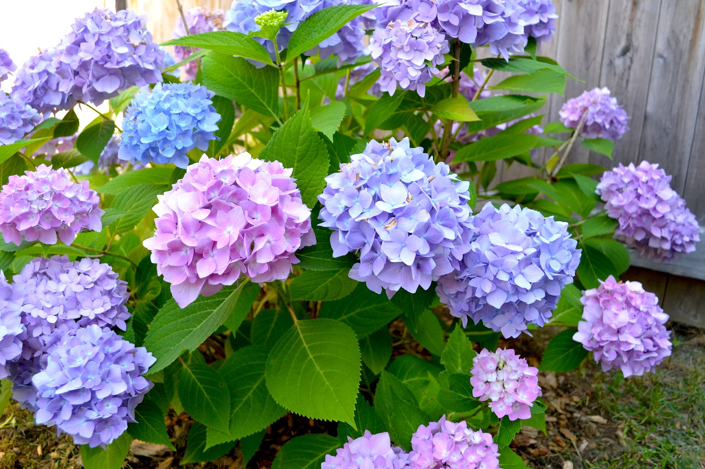 hydrangea in bloom  pop  circumstance  guidebook for beautiful, Beautiful flower