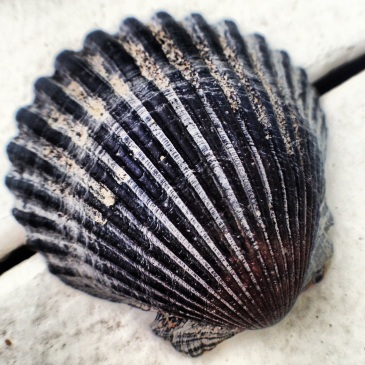 Outer Banks seashell