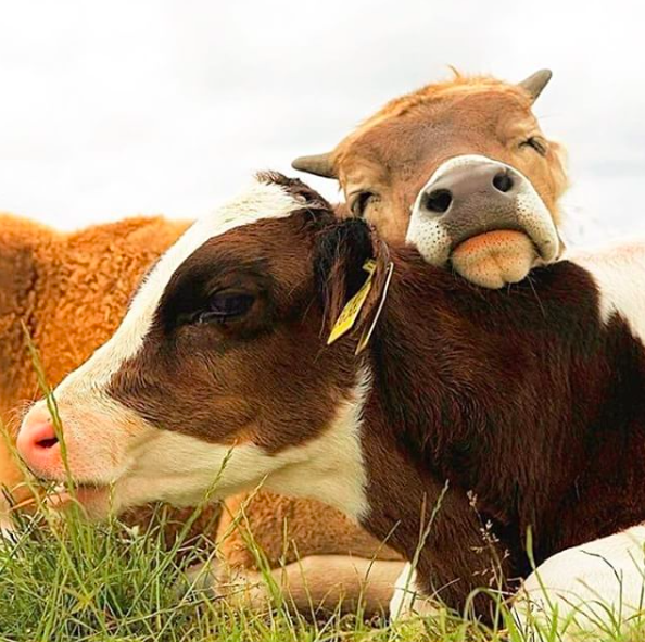 vegan_inspiration_cows